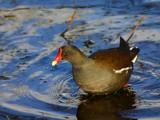 Moorhen by pom1, photography->birds gallery