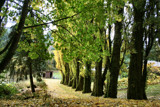 Stately Old Poplars by verenabloo, Photography->Landscape gallery
