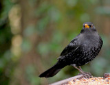 Mr Blackbird by braces, Photography->Birds gallery