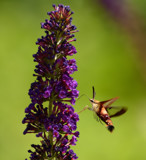 The Hummingbird Moth by tigger3, photography->butterflies gallery