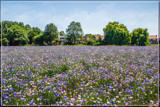 Flowering Field by corngrowth, photography->flowers gallery