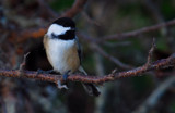 black-capped chickadee by solita17, Photography->Birds gallery