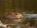 Great Canadian Beaver by mayne, Photography->Animals gallery