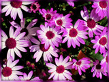Pericallis - Magenta Senetta by trixxie17, photography->flowers gallery
