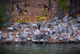 Goose on the Rocks by Pistos, photography->birds gallery