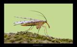 Miss Scorpion Fly by kodo34, Photography->Macro gallery