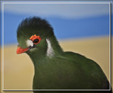 White Cheeked Turaco by Jimbobedsel, photography->birds gallery