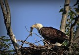 Bald Eagle # 3 by picardroe, photography->birds gallery
