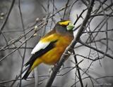 Evening Grosbeak by GIGIBL, photography->birds gallery