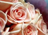 Rose: Peach Roses by ladyturtle27, Photography->Flowers gallery