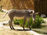 Grevy's Zebra by bikolnon, Photography->Animals gallery