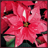 Coral Varigated Poinsettia by trixxie17, holidays->christmas gallery