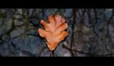 Oak Leaf by nessalovesnature, photography->nature gallery