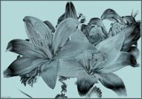 Aqua Lilies by LynEve, photography->manipulation gallery