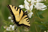 Tiger Swallowtail #1 by egggray, photography->butterflies gallery