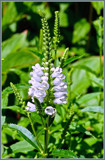 Physostegia Virginiana 'Summer Snow' by corngrowth, photography->flowers gallery