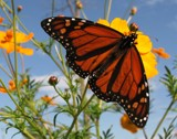 Monarch by holliscdl, Photography->Butterflies gallery