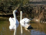 Swooning Swans by kidder, Photography->Birds gallery