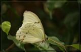 White Morpho by Jimbobedsel, photography->butterflies gallery