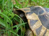'Peak-a-boo' Tortoise by StarLite, photography->animals gallery