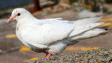 A New Brighton Resident by braces, Photography->Birds gallery