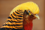 Golden Pheasant by Paul_Gerritsen, Photography->Birds gallery
