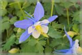 Columbine Bluebird by trixxie17, photography->flowers gallery