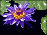 George T. Moore Waterlily by trixxie17, photography->flowers gallery