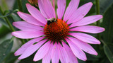 Visit to the Purple Coneflower by Pistos, photography->flowers gallery
