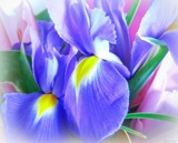 Irises by LynEve, photography->flowers gallery