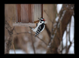 A Downy Woodpecker by tigger3, Photography->Birds gallery