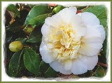 Camellia by LynEve, photography->flowers gallery
