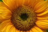 Sunflower by Trae03, Photography->Flowers gallery