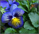 Blueboy - Pansies 2011 by trixxie17, photography->flowers gallery