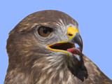raptorial bird # 2 by kodo34, Photography->Birds gallery