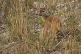 Brocket Deer by jeenie11, photography->animals gallery