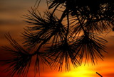 sunset with pine bough by solita17, Photography->Sunset/Rise gallery