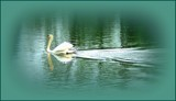 The Silent Swan by TheWhisperer, photography->birds gallery
