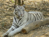 Calm looking White Tiger by aravindram21, photography->animals gallery