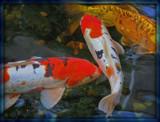 Koi Pond by trixxie17, photography->animals gallery