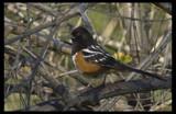 Often Heard but Seldom Seen by garrettparkinson, Photography->Birds gallery