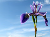 Wild Iris by June, Photography->Flowers gallery