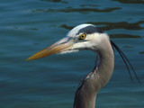 That's LORD Heron I say! by lilu103, Photography->Birds gallery