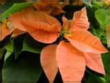 Apricot Poinsettia by trixxie17, holidays->christmas gallery