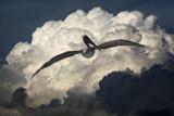 Flight of the Pelican by Paul_Gerritsen, Photography->Birds gallery