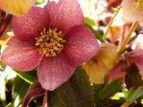 Hellebore Once Again by trixxie17, photography->flowers gallery