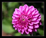 Pink Dahlia by LynEve, photography->flowers gallery