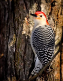 The Red-Bellied Woodpecker #2 by tigger3, photography->birds gallery