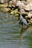 Great Blue Heron by kidder, Photography->Birds gallery