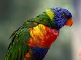 Lori by Paul_Gerritsen, Photography->Birds gallery